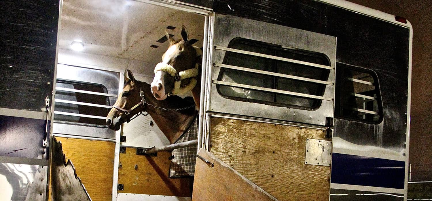 horses in a trailer waiting for transport